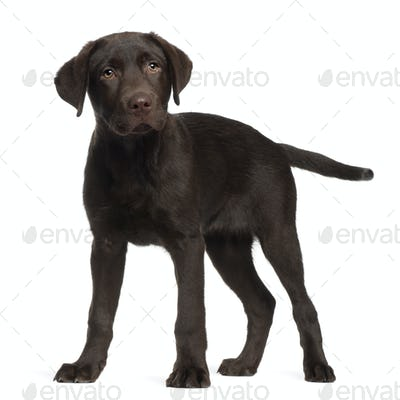 Labrador, 3 months old, standing in front of white background