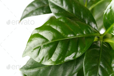 Coffee arabica close up