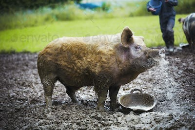 A pig stood in a muddy field next to a feeding bucket.