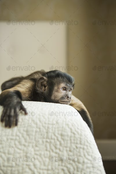 A capuchin monkey lying down on a bed.