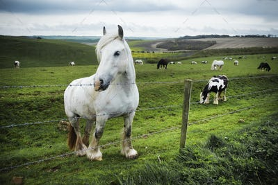 A group of horses grazing on the grass on the open chalk downlands.
