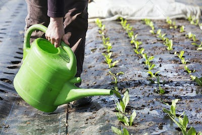 A person watering small seedlings.