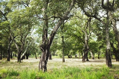 Countryside scene, an orchard with old fruit trees.