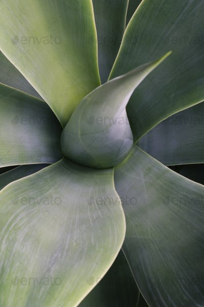 Close up of succulent yucca plant leaves and new leaves emerging.