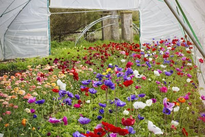 Flowers of many varieties growing in a poly tunnel using organic methods.