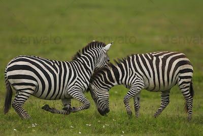 Plains zebras fighting, Ngorongoro Conservation Area, Tanzania