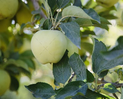 A ripe Golden Delicious apple on the tree, close up.
