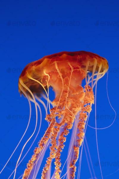 Black sea nettle jellyfish, Chrysaora fuscescens,scyphozoa, underwater in the Monterey Bay Aquarium.