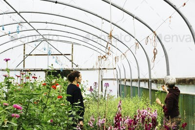 Two people working in a polytunnel full of flowering plants in a commercial flower nursery.