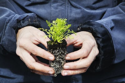 A gardener holding a small plug plant, with green leaves and a root network iin soil.