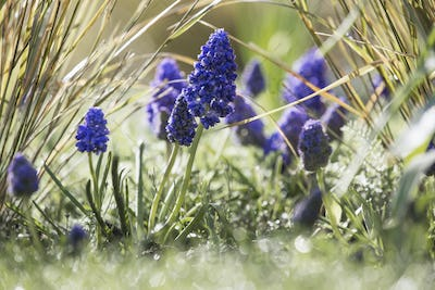 Close up of spring bulbs, grape hyacinths growing in grass.