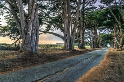An avenue of trees growing on either side of a road in the Point Reyes National Park, in California.