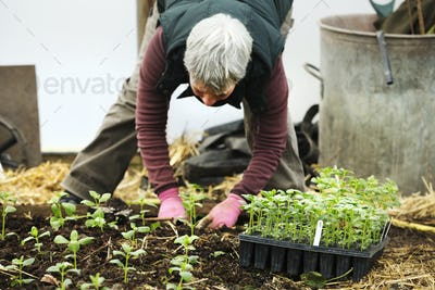 A woman bending planting seedling in an organic flower nursery.