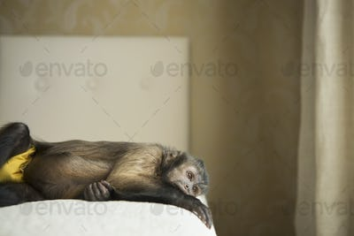 A capuchin monkey lying on his side on a bed.
