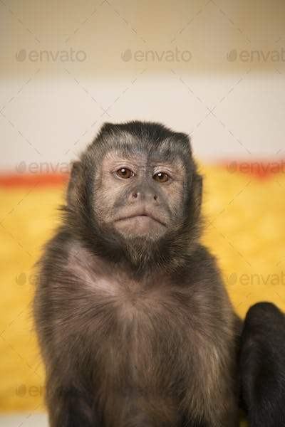 A capuchin monkey seated on a bed in a bedroom.