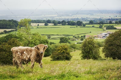 Brown Highland cow in a field, and view over the countryside.