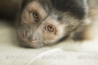 A capuchin monkey in a bedroom, lying on an upholstered chair, looking forlorn.