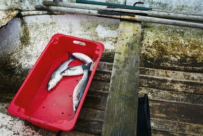 A red plastic box with four freshly caught fish, in the bottom of a wooden boat.