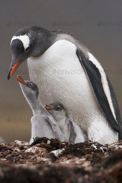 A Gentoo penguin and two chicks on South Georgia Island.