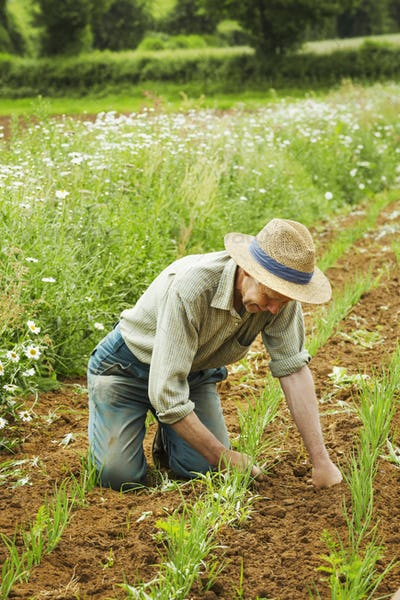 A man kneeling down tending a row of small plants in a field.