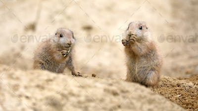 Black-tailed prairie dog (Cynomys ludovicianus), small rodent.