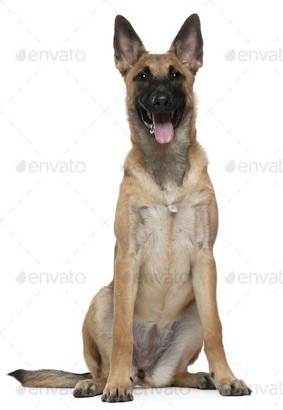 Belgian Shepherd Dog (Malinois) puppy (5 months old)