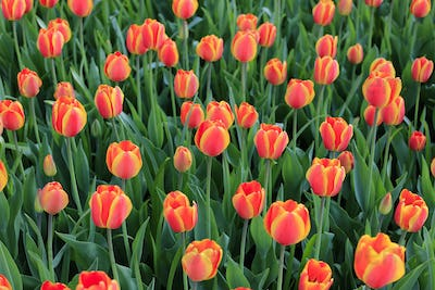 Beautiful bright red and yellow spring tulips