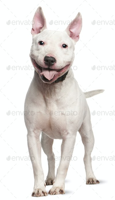 Staffordshire Bull Terrier (4 years old)