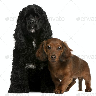 American Cocker Spaniel (2 years old), Dachshund puppy (4 months old)