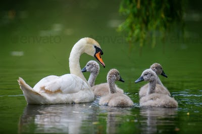 Mute swan Cygnus olor with baby. Cygnets on summer day in calm water. Bird in the nature habitat