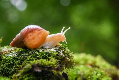 Giant snail (Achatina fulica) crawling on green moss