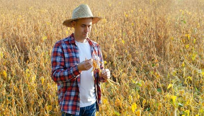 Caucasian middle age farmer in straw hat inspecting soy pods at field