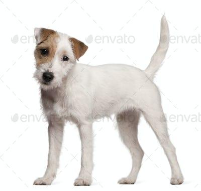 Australian Shepherd (1 year old), Parson Russell Terrier puppy (6 months old)
