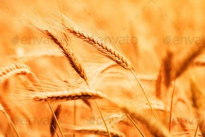 Ripe barley crops in cultivated field
