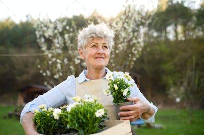 Senior woman gardening in summer, holding flowering plants