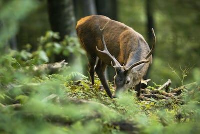 Unaware red deer stag grazing green vegetation in summer forest