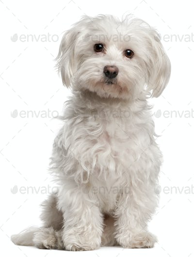 American Staffordshire Terrier (14 months old), Maltese (8 years old)