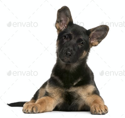 German Shepherd Dog puppy (3 months old)