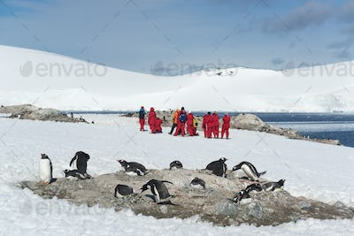 Group of people looking at a small colony of Gentoo Penguins sitting on a rock in the Antarctic.