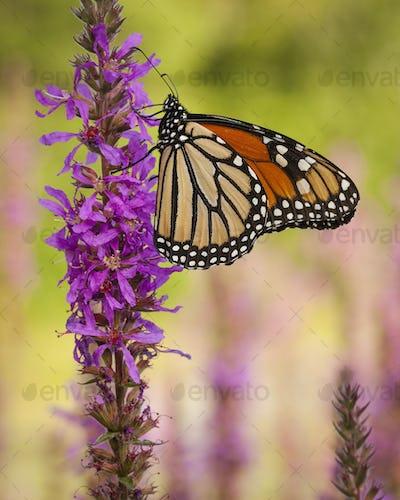 Monarch Butterfly sitting on a purple flower.