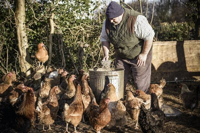 A farmer holding a feed bucket, surrounded by a flock of hungry chickens.