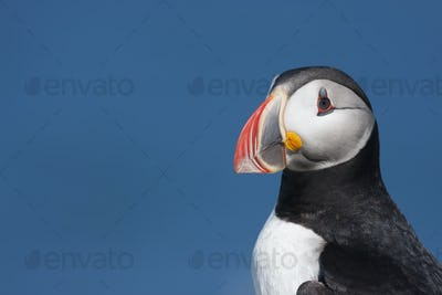Close up of an Atlantic Puffin, head profile.