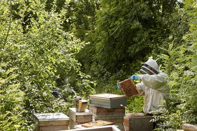A beekeeper inspecting the bee hives in an allottment garden plot.