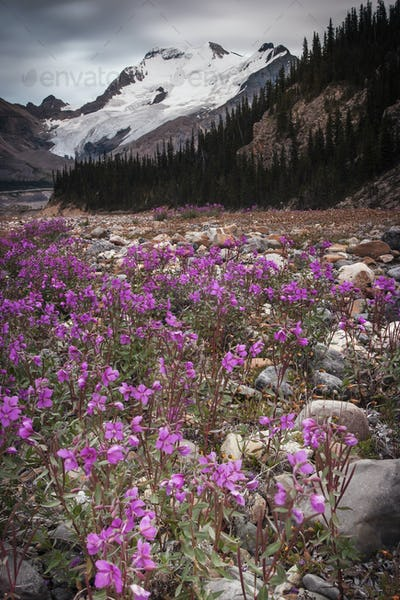 The Athabasca Glacier and pink wildflowers in a valley in the Canadian Rockies.