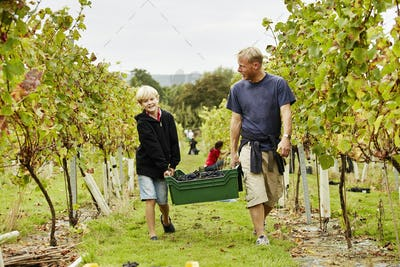 A man and his son carrying a plastic crate full of grapes through the vineyard.