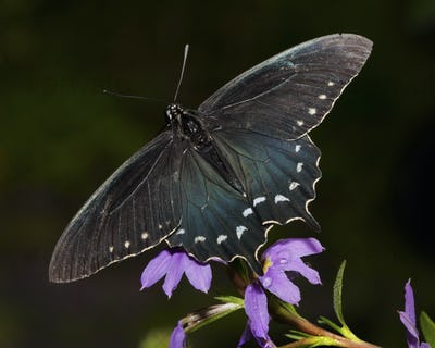 Close up of a Swallowtail butterfly sitting on a purple flower.