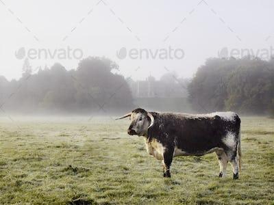 Longhorn cattle in a field on a misty morning.