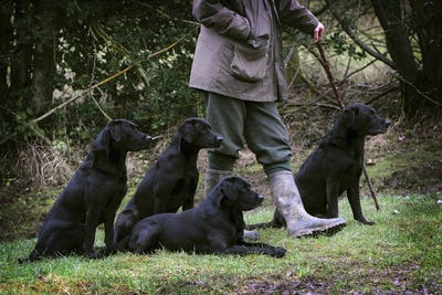 A man holding a beater's stick with four black labrador gundogs, out on a shoot.