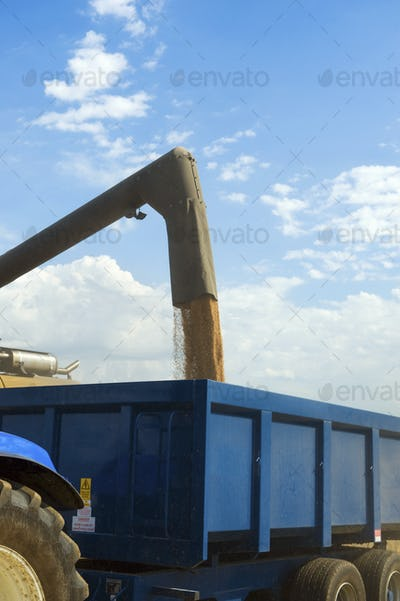 Harvested grain being loaded onto a trailer on a farm.