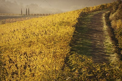 Farm road through a vineyard in autumn. Vivid yellow foliage on the vines.